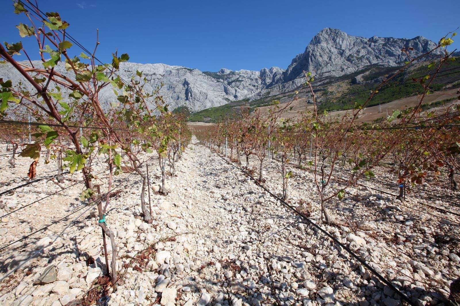 Na podrucju Makarske, točnije na padinama Baskog Polja Zlatan Plenkovic je na 75 hektara posadio vinovu lozu. Uz najzastupljeniji plavac mali, posađenje i velik broj loza crljenka